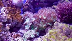 Pink coral underwater stock video