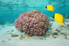 Pink coral underwater with tropical fish Stock Photography