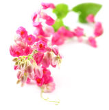 Pink coral vine Stock Photo