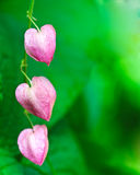 Pink Coral vine flower Stock Image