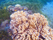 Pink corals in tropical seashore. Undersea landscape photo. Fauna and flora of tropical shore. Coral reef underwater photo. Snorkeling in tropics. Exotic Royalty Free Stock Image