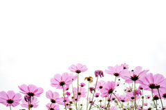 Pink coreopsis flowers. Coreopsis flowers in the field royalty free stock images