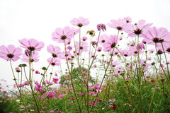 Pink coreopsis flowers Royalty Free Stock Photo