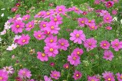 Pink coreopsis flowers Royalty Free Stock Image