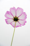 Pink coreopsis flowers Stock Photography