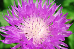 Pink corn-flower. The bright petals of corn-flower are lighted up by a sun Stock Image