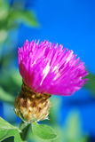Pink corn-flower. The bright petals of corn-flower are lighted up by a sun Royalty Free Stock Images