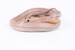 Pink Corn Snake. A pink corn snake on white background Stock Image