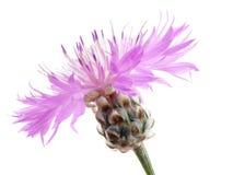 Pink cornflower royalty free stock image