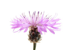 Pink cornflower Royalty Free Stock Photos