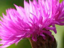 Pink cornflower Royalty Free Stock Images