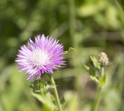 Pink cornflower. Acroptilon repens Pall. Lettuce two types of background Royalty Free Stock Images