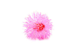 Pink Cornflower - Centaurea on a white background, pink flower o royalty free stock photography
