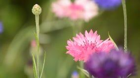 Pink cornflower stock footage