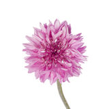 Pink Cornflower Royalty Free Stock Image