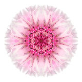 Pink Cornflower Mandala Flower Kaleidoscope Isolated on White Stock Photos