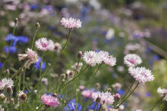 Pink cornflower Royalty Free Stock Photography