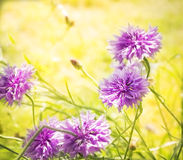 Pink cornflower on sunny field wiht bokeh Stock Photos