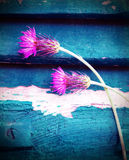 Pink cornflowers Royalty Free Stock Photo