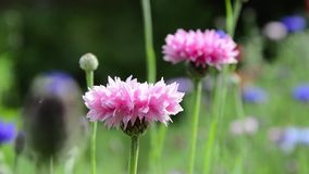 Pink cornflowers stock video footage
