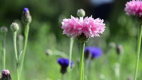 Pink cornflowers stock video