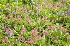 Pink corydalis Stock Image