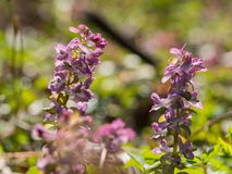 Corydalis flower growing in spring forest. Pink corydalis flowers blooming in the forest on a sunny day Stock Photos