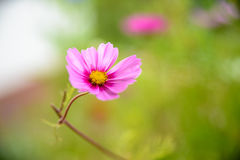 Pink cosmea blossom. Cosmea flower in the garden Stock Photography