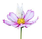 Pink cosmea and butterfly royalty free stock image