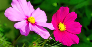 Pink cosmea flowers. Royalty Free Stock Images