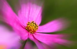 Pink cosmea flowers . Stock Photos