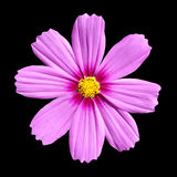 Pink Cosmea Rose. Beautiful Cosmos Flower isolated. On black background Stock Images