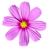 Pink Cosmea Rose. Beautiful Cosmos Flower isolated. On white background Royalty Free Stock Image