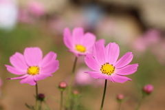 Pink cosmea rose Royalty Free Stock Image