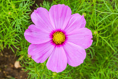 Pink Cosmo Flower Royalty Free Stock Photos