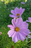 Pink Cosmo flower. Pink wildflowers close up stock photos
