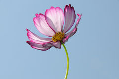 Pink Cosmos. Flower in summer light with the sky as the background Stock Photography