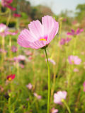 Pink cosmos. A field of pink cosmos Stock Photography