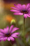 Pink cosmos`. Two cosmos after bloom Royalty Free Stock Photography