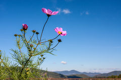 Pink Cosmos against Blue Sky Royalty Free Stock Images