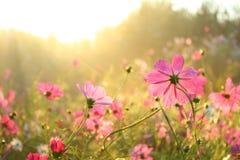 Pink Cosmos Stock Photos