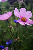 Pink cosmos and bachelor buttons in a field Stock Photos
