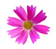 Pink Cosmos Bipinnatus Royalty Free Stock Image