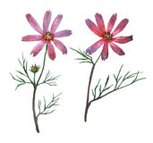 Pink Cosmos bipinnatus, commonly called the garden cosmos or Mexican aster. Stock Image