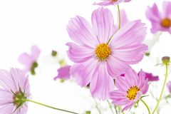 Pink Cosmos bipinnatus flower Royalty Free Stock Image