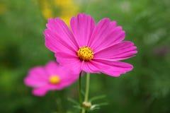 Pink Cosmos bipinnatus flower in the garden Stock Images