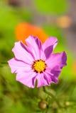 Pink cosmos bipinnatus flower Stock Images