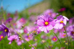 Pink cosmos bloom in field Royalty Free Stock Photo