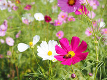 Pink cosmos blooming with bee. Close up pink cosmos blooming with bee in flower field stock photos
