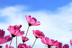 Pink Cosmos blooming. On blue sky background Royalty Free Stock Photo